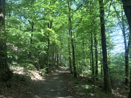 A dirt trail leads away to the north; on all sides are tall, narrow trees.  On the left, a hillside climbs up; to the right it descends.  Though the trail is shaded, the upper leaves of the trees are bright green.