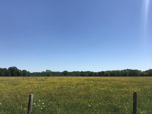 East past a barbed-wire fence lies a large field, green with thousands of small yellow flowers; in the United States we might assume they were dandelions.  The far side of the field is defined by a dense arc of trees; the sky is blue.