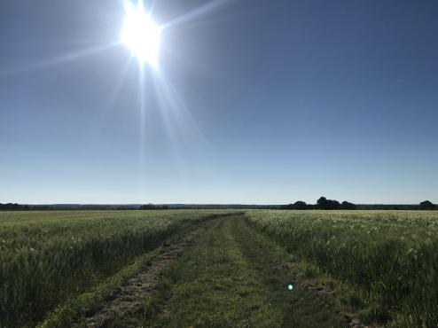 A wide grassy path heads east through a green field of grain, suitable for a tractor based on the ruts; ahead it curves gently to the right.  The grain has fuzzy-looking seed heads, making the field look soft.  In the blue sky above, a blindingly-bright sun glares down; distant trees show up as featureless silhouettes.