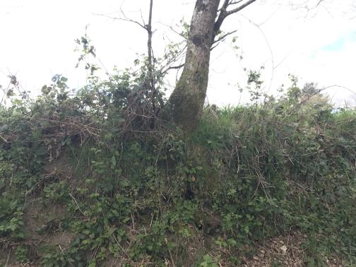 We are looking at a dirt wall or slope directly in front, to the north-northwest, perhaps five or six feet high.  It has scattered low plants growing on it; it's topped by brambles and a tree (only its trunk is visible).