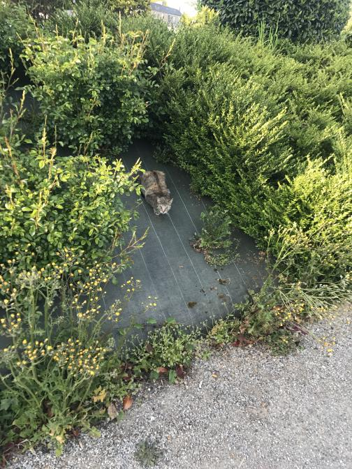 Herbs and flowers grow in a flowerbed through a fabric weed barrier.  Poorly-hidden among them is a petite cat, staring at the camera.