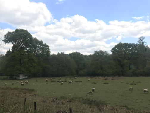 A green pasture to the east-southeast has perhaps two dozen white sheep scattered across it, grazing.  The far edge of the pasture is defined by a solid line of trees.  Again, the sky looks more overcast in the distance than close.