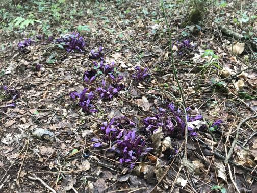 Among a brown background of debris such as dead leaves and twigs, several low clusters of purple flowers stand out.