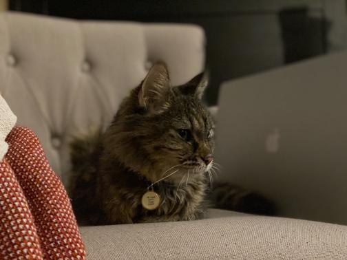 A medium-hair tortoiseshell cat, Gracie, sits down on a beige armchair, her front legs tucked under her.  She is looking to the right of the photo, but isn't paying close attention to whatever drew her eye.